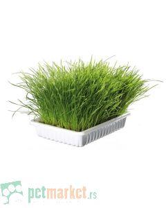 Mačija trava u posudi